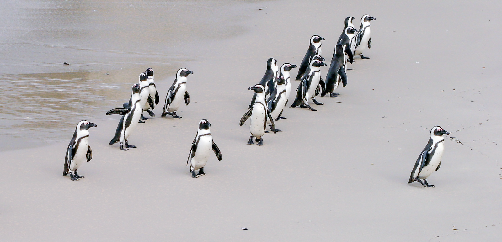 One penguin leading a group of other penguins on the beach.