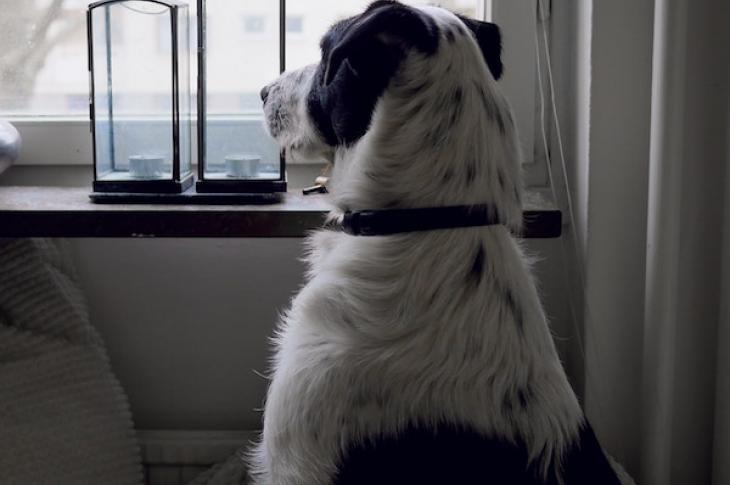 dog_looking_out_window