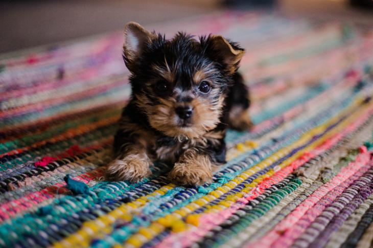 Puppy on a rug in a home