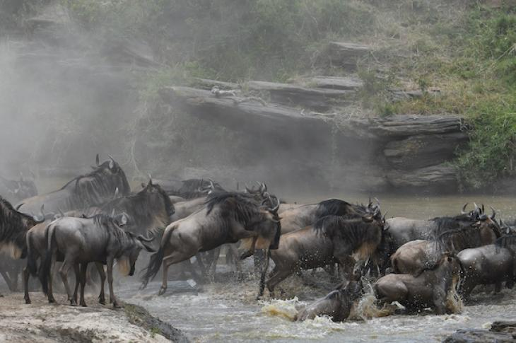 Wildebeasts crossing a river