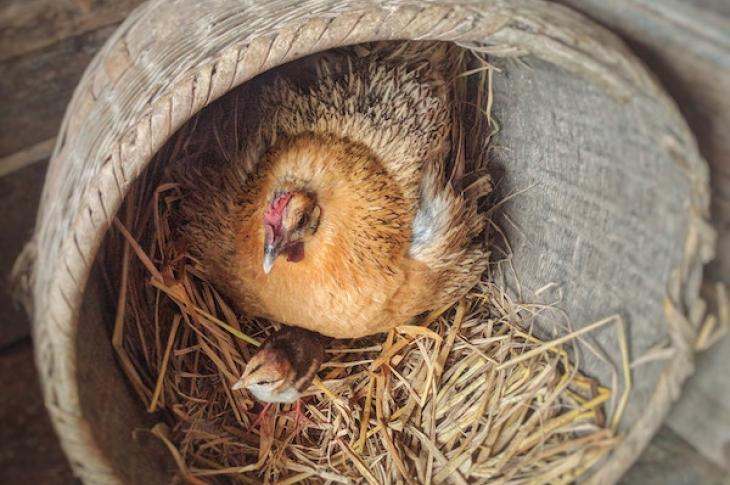 Bird_and_chick_sitting_in_nest