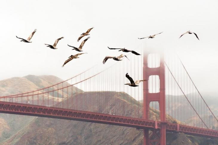Birds_flying_near_Golden_Gate_bridge