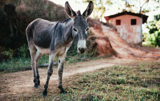 donkey tied up on a farm with a path leading away uphill