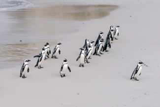 Example of leadership with penguins